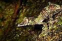 Leaf-tailed gecko {Uroplatus sikorae} camouflaged against mossy tree trunk in rainforest. Masoala Peninsula National Park, north east Madagascar.