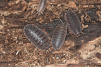 Kellerassel, Keller-Assel, Porcellio scaber, common rough woodlouse, garden woodlouse, slater, scabby sow bug