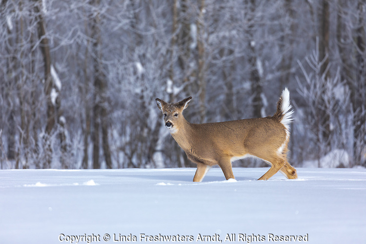 White-tailed fawn becoming alarmed as she walks along the forest's edge.