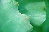 close up of green lotus leaves