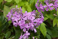 Phlox pilosa 'Eco Happy Traveller', Downy Phlox, native American nativar plant, Prairie Phlox