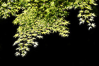 Japanese Maple branches and leaves against dark background, Portland Japanese Garden, Washington Park, Portland, Multnomah County, Oregaon, USA