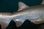 Sand tiger shark showing second dorsal fin, anal fin and top notch at beginning of tail fin. Shark on display at the Mystic Aquarium in Connecticut