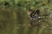 Olive Sparrow, Arremonops rufivirgatus, adult bathing, Starr County, Rio Grande Valley, Texas, USA