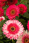 GERBERA 'HOT SPRINGS' AND 'EVERGLADES' (BICOLOR), TRANSVAAL DAISY