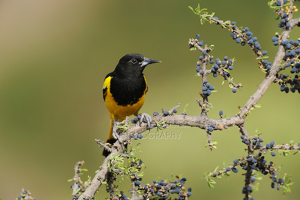 Scott's Oriole (Icterus parisorum), male on Guayacan (Guaiacum angustifolium), Chisos Basin, Chisos Mountains, Big Bend National Park, Chihuahuan Desert, West Texas, USA