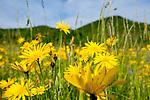 Europa, DEU, Deutschland, Baden-Wuerttemberg, Schwaebische Alb, Wiesen-Bocksbart (Tragopogon pratensis), Natur, Umwelt, Pflanzen, Pflanzenkunde, Botanik, Biologie, <br /> <br /> [Fuer die Nutzung gelten die jeweils gueltigen Allgemeinen Liefer-und Geschaeftsbedingungen. Nutzung nur gegen Verwendungsmeldung und Nachweis. Download der AGB unter http://www.image-box.com oder werden auf Anfrage zugesendet. Freigabe ist vorher erforderlich. Jede Nutzung des Fotos ist honorarpflichtig gemaess derzeit gueltiger MFM Liste - Kontakt, Uwe Schmid-Fotografie, Duisburg, Tel. (+49).2065.677997, ..archiv@image-box.com, www.image-box.com]