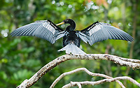 Male Anhinga, Anhinga anhinga, dries its wings while perched on a branch beside the Tortuguero River (Rio Tortuguero) in Tortuguero National Park, Costa Rica