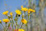 Europa, DEU, Deutschland, Nordrhein-Westfalen, Niederrhein, Pippau (Crepis), Bluete, Gelbe Blueten, Natur, Umwelt, Pflanzen, Pflanzenkunde, Botanik, Biologie, <br /> <br /> [Fuer die Nutzung gelten die jeweils gueltigen Allgemeinen Liefer-und Geschaeftsbedingungen. Nutzung nur gegen Verwendungsmeldung und Nachweis. Download der AGB unter http://www.image-box.com oder werden auf Anfrage zugesendet. Freigabe ist vorher erforderlich. Jede Nutzung des Fotos ist honorarpflichtig gemaess derzeit gueltiger MFM Liste - Kontakt, Uwe Schmid-Fotografie, Duisburg, Tel. (+49).2065.677997, ..archiv@image-box.com, www.image-box.com]