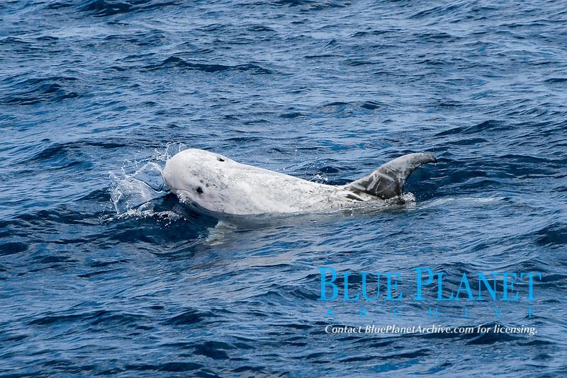 Risso's dolphin, Grampus griseus, Azores Islands, Portugal, North Atlantic