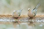 Texas, Rio Grande Valley, Santa Clara Ranch, Mourning Doves