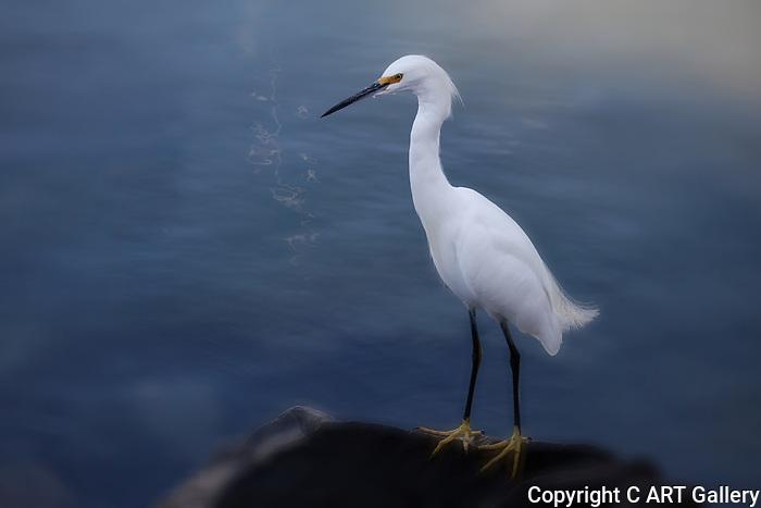 Egret, Balboa Island, CA.