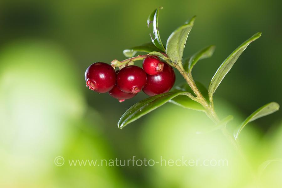 Preiselbeere, Preisel-Beere, Kronsbeere, reife Früchte, Preiselbeeren, Vaccinium vitis-idaea, lingonberry, partridgeberry, mountain cranberry, Cowberry, Foxberry, l'airelle rouge