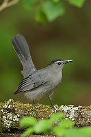 Gray Catbird (Dumetella carolinensis), adult, South Padre Island, Texas, USA