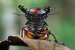 Giant Stag Beetle (Lucanidae) (unknown species) Montane rainforest, Mt Kinabalu, Sabah, Borneo.