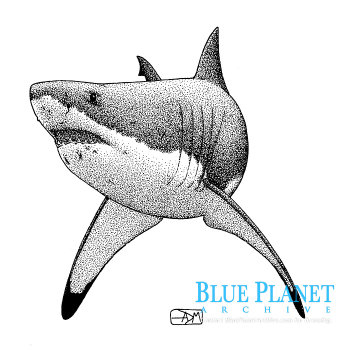 Great white shark, Carcharodon carcharias, threat display with pectoral fin depression, pen and ink illustration.