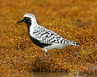 Adult male black-bellied plover in sargasso weed on beach