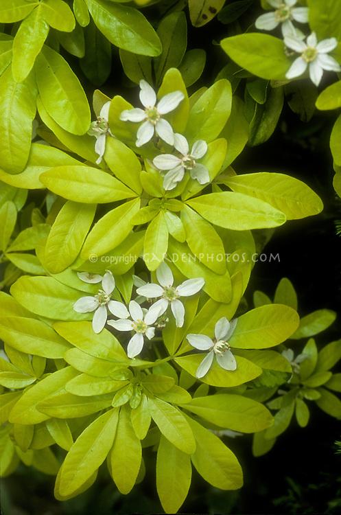 Choisya ternata 'Sundance' aka 'Lich' gold leaved shrub in flower