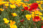 Red poppy in field of yellow and red poppies