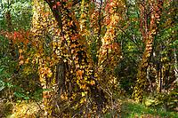 Herbstlaub im Wald, Glauer Berge, Naturpark Nuthe-Nieplitz, Teltow-Fläming, Brandenburg, Deutschland