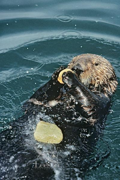 Sea otter using tool--cracking clam on rock.  California.