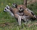 """16/05/16<br /> <br /> """"Can we go home now?""""<br /> <br /> Three baby ring-tail lemurs began climbing lessons for the first time today. The four-week-old babies, born days apart from one another, were reluctant to leave their mothers' backs to start with but after encouragement from their doting parents they were soon scaling rocks and trees in their enclosure. One of the youngsters even swung from a branch one-handed, at Peak Wildlife Park in the Staffordshire Peak District. The lesson was brief and the adorable babies soon returned to their mums for snacks and cuddles in the sunshine.<br /> All Rights Reserved F Stop Press Ltd +44 (0)1335 418365"""