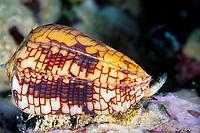 Cone shell, Conus tesselata, Cocos Island, Costa Rica, Pacific Ocean
