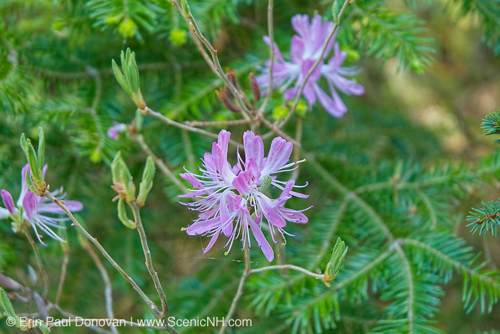 Rhodora -Rhododendron canadense-during the spring months on the side of Meader Ridge Trail in the White Mountains, New Hampshire USA