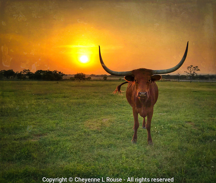 Sunset Standoff - Texas Longhorn, Texas