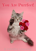 Kim, REALISTIC ANIMALS, REALISTISCHE TIERE, ANIMALES REALISTICOS, photos,+Silver tabby kitten, Blaze, 3 months old, with a bunch of flowers on pink background.,you, are, purrfect, silver, tabby, kitt+en, with, bunch, of, flowers, on, pink, background, cats, pets, animals, kittens, portraits, red, perfect+++,GBJBWP45341,#a#, EVERYDAY