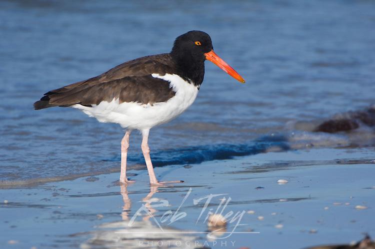 USA, Florida, Ft. Myer's Beach, American Oystercatcher (Haematopus palliatus)