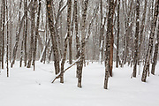 Hardwood forest in the area of the old Passaconaway Settlement in Albany, New Hampshire USA during the winter months.
