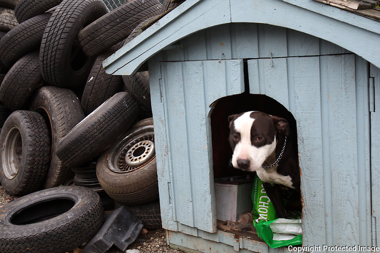 A one year old pitbull named Bush, after President Bush, ia a guard dog at Albertson Used Tire yard in West Seattle.  (Karen Ducey/Seattle Post-Intelligencer)
