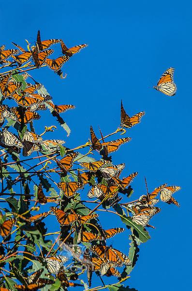 Western Monarch Butterflies (Danaus plexippus) enjoying the California sun on a warmer than usual February day.