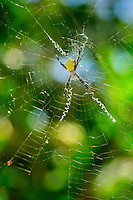 Banana spider weaving a web, National Tropical Botanical Garden, Kaua'i.