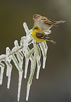 Lesser Goldfinch (Carduelis psaltria), adult female perched on icy branch of Christmas cholla (Cylindropuntia leptocaulis) and Chipping Sparrow (Spizella passerina) , Hill Country, Texas, USA