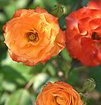 The Saturday Roses