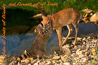 Raccoon and Fawn make friends beside lake, Midwest USA- with caption