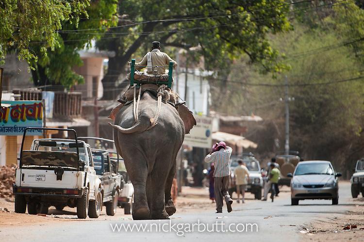 Domestic Asian Elephant (Elephas maximus) - used for riding / taking tourists. Walking down main street in Tala village, Bandhavgarh NP, India.