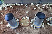 Elevage de volailles, poussins de 7 jours (Christelle Appaganou, éleveuse à Bourail)