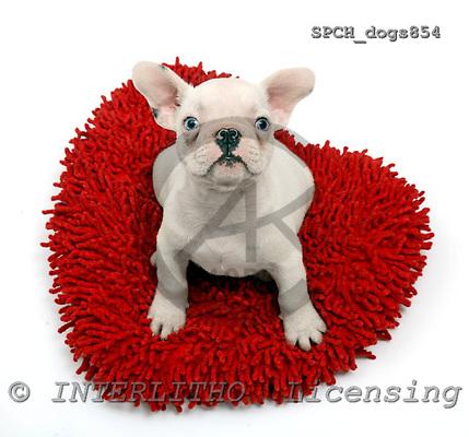 Xavier, ANIMALS, dogs, photos, SPCHDOGS854,#A# Hunde, perros
