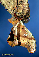 LE41-032c  Polyphemus Moth - adult male newly emerged from cocoon - Antheraea polyphemus