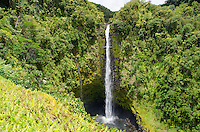 Beautiful 'Akaka Falls is 442 feet tall along a 0.4-mile loop hiking trail through a tropical rainforest, 'Akaka Falls State Park, Honomu, Hamakua coastline, Big Island.