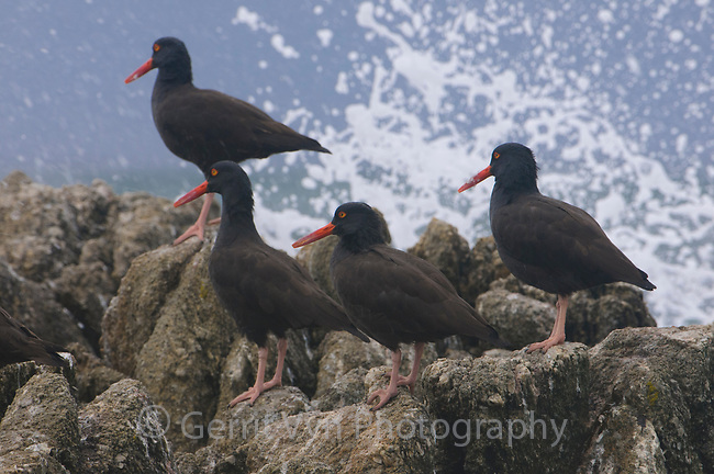 Flock of Black Oystercatchers (Haematopus bachmani) roosting on coastal rocks as a wave crashes. Monterey County, California. October.