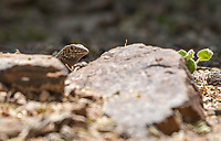 Sonoran Tiger Whiptail, Aspidoscelis tigris punctilinealis, in the Desert Botanical Garden, Phoenix, Arizona