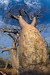 Baobab (Adansonia za) over. Lac Tsimanampetsotsa National Park, SW Madagascar.