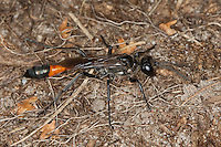 Gemeine Sandwespe, Ammophila sabulosa, Red-banded Sand Wasp, Grabwespe