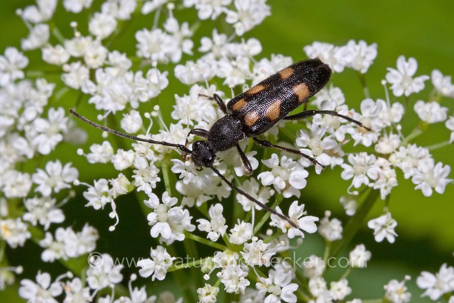Gefleckter Halsbock, Sechstropfiger Halsbock, Anoplodera sexguttata, Leptura sexguttata, six spotted longhorn beetle, six-spotted longhorn beetle
