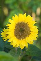 Helianthus annuus (Sunflowers)