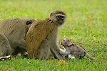 A family of vervet monkeys (Chlorocebus pygerythrus), Victoria Falls, Zimbabwe